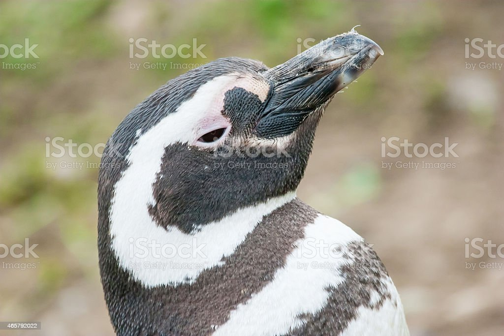 Penguin lifting head upwards stock photo