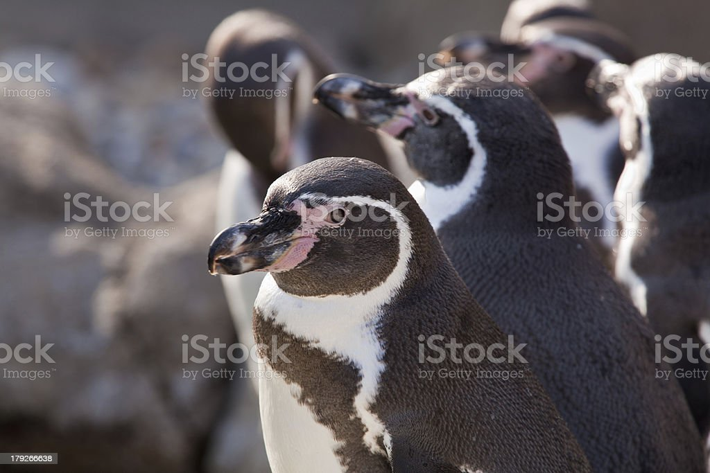 Penguin Looking at the Camera royalty-free stock photo
