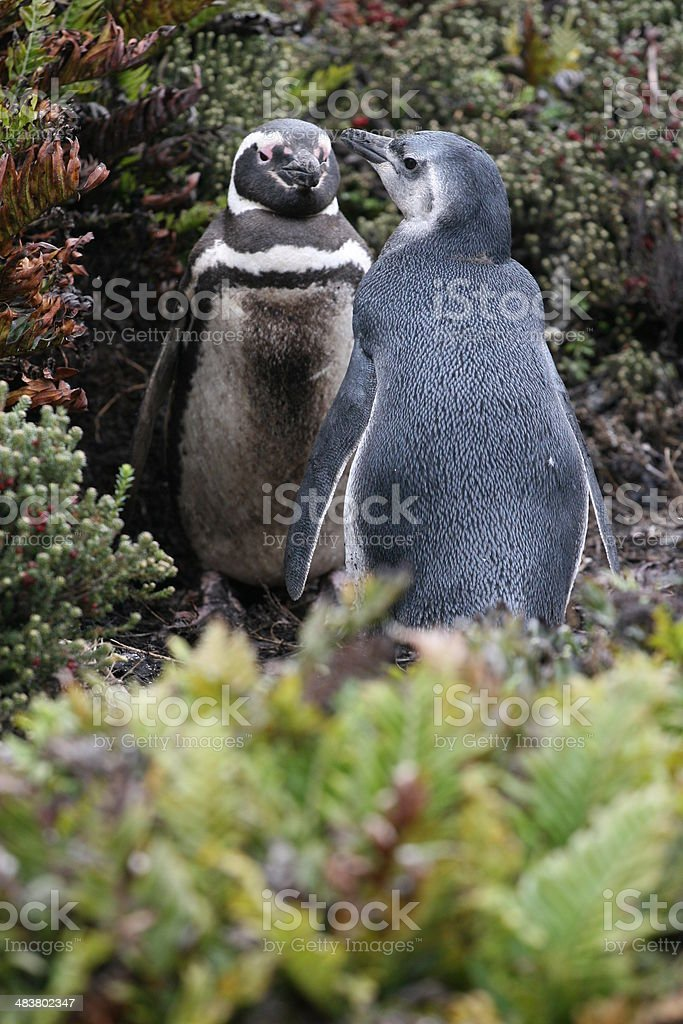 Penguin Pair royalty-free stock photo