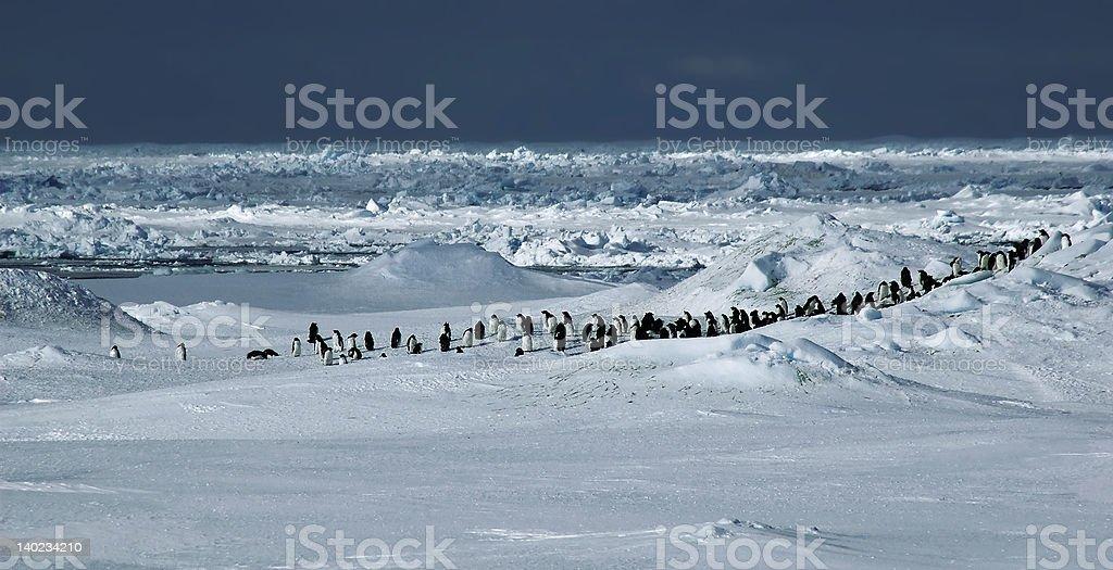 Penguin panorama stock photo
