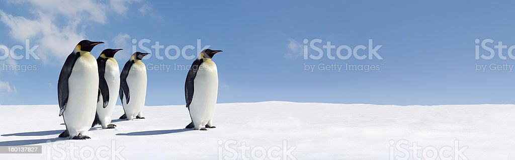 Penguin Panorama royalty-free stock photo