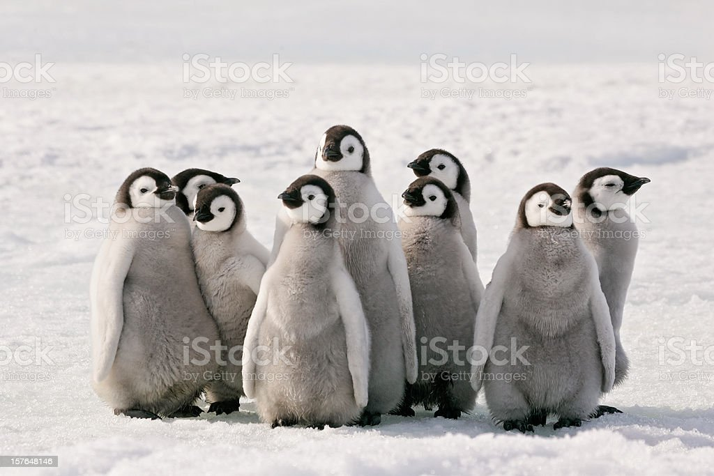Penguin Party royalty-free stock photo