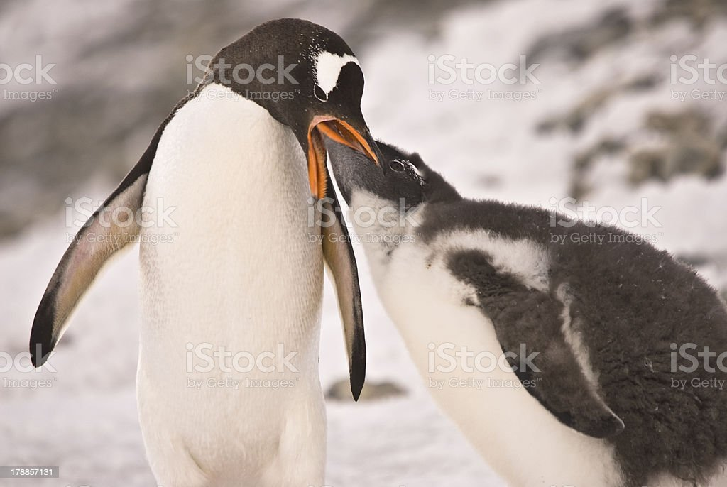 Penguin royalty-free stock photo