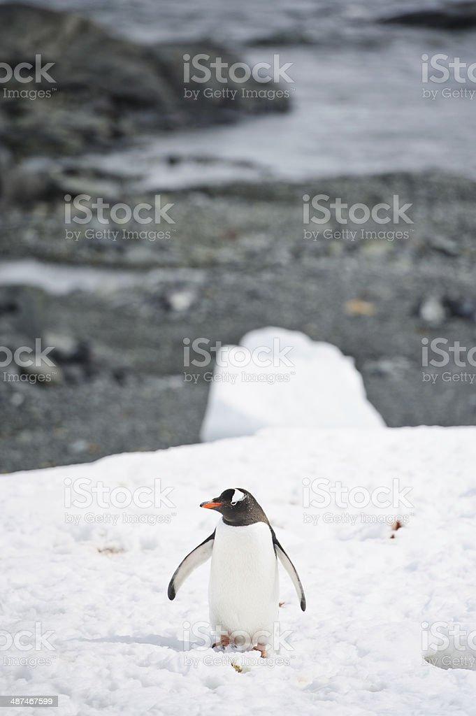 Penguin stock photo
