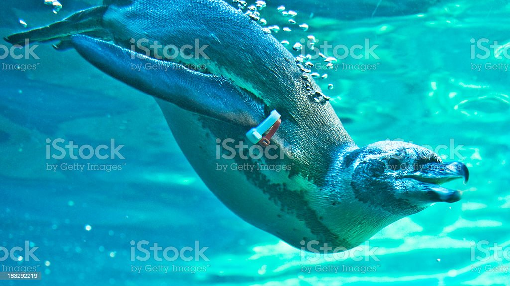 Penguin portrait close-up underwater stock photo