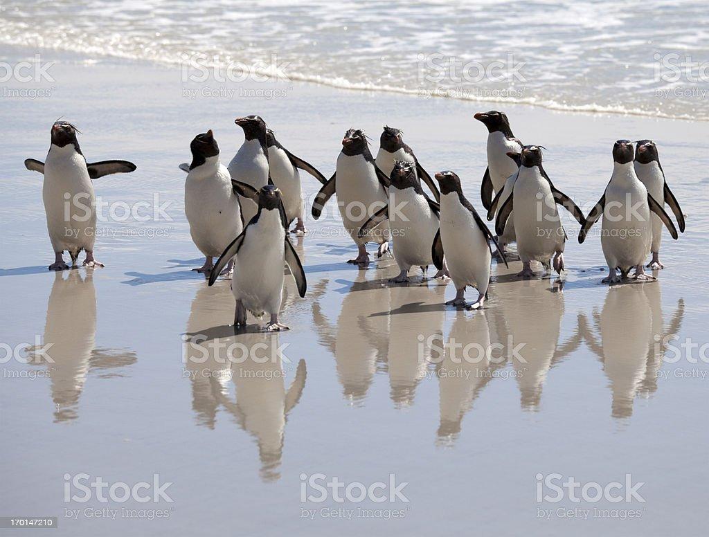 Penguin Reflections, Falkland Islands stock photo