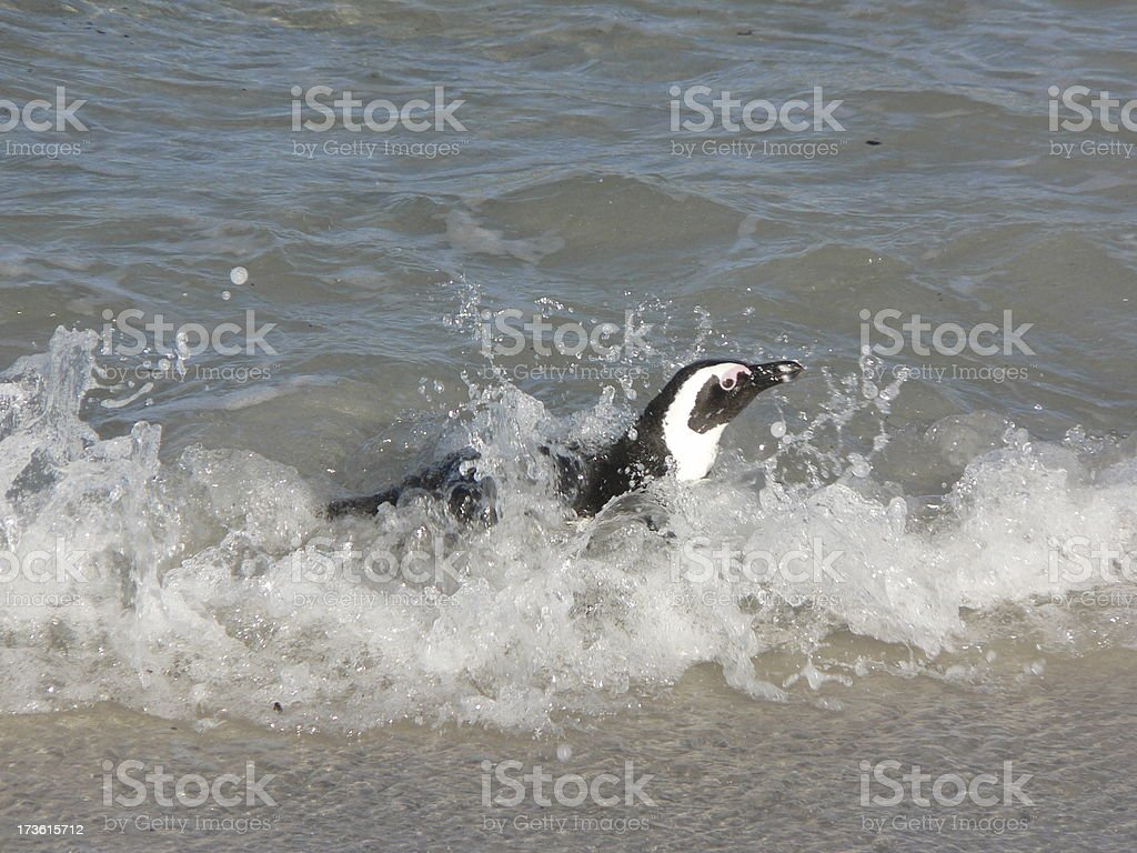 Penguin surfing royalty-free stock photo