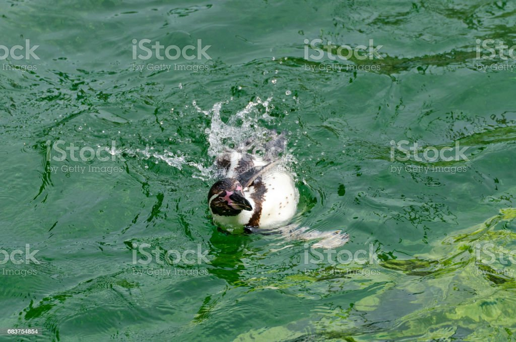 penguin swimming in sideway position stock photo