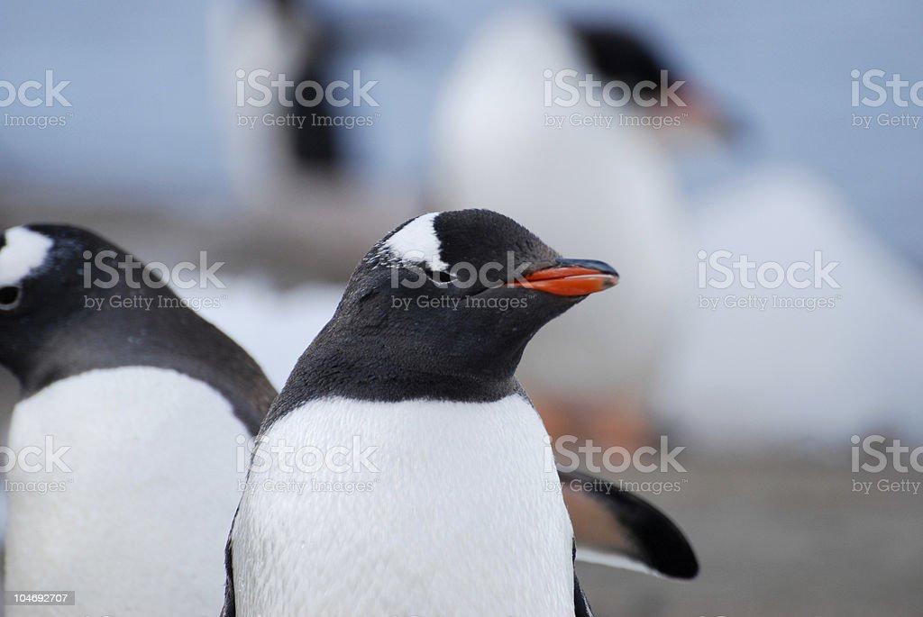 Penguin Twins stock photo