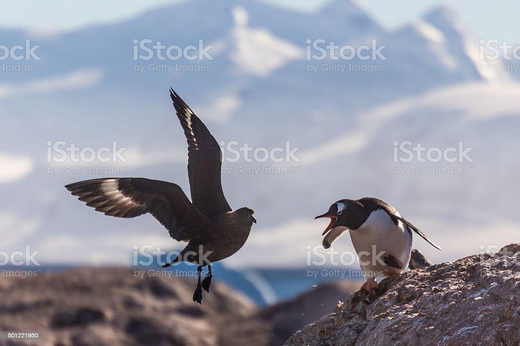 Penguin vs Skua stock photo