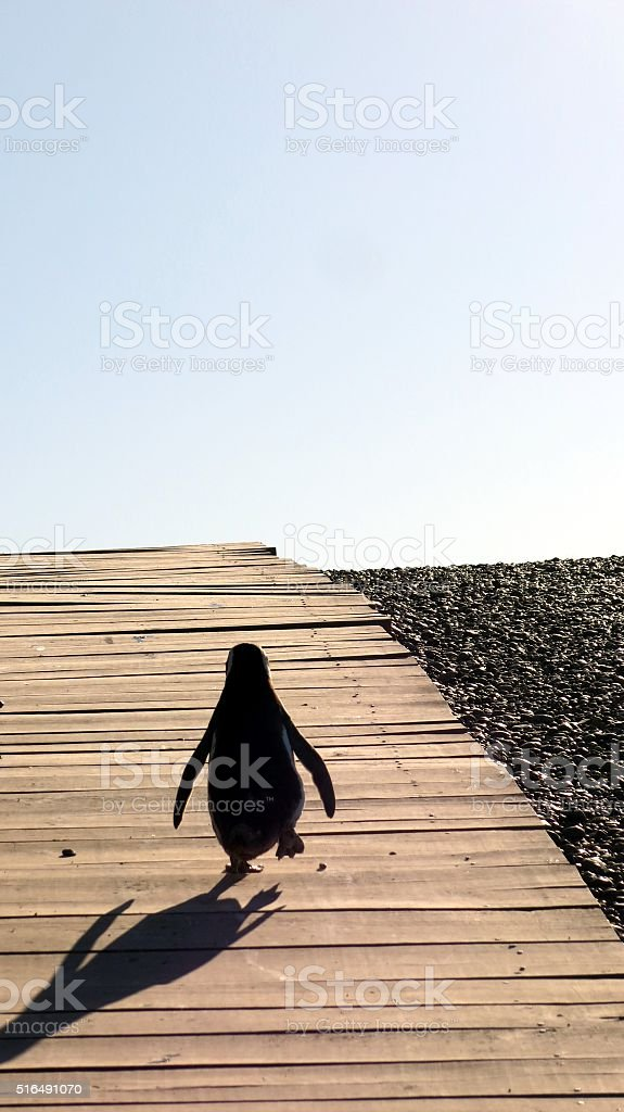Penguin walking on a boardwalk towards ocean stock photo