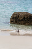 Penguin walking to the sea at Boulders Beach,South Africa.