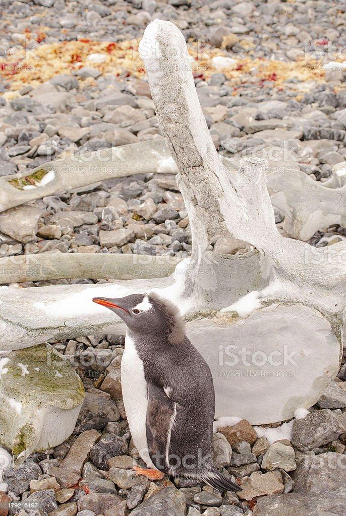 Penguin & WhaleBone royalty-free stock photo