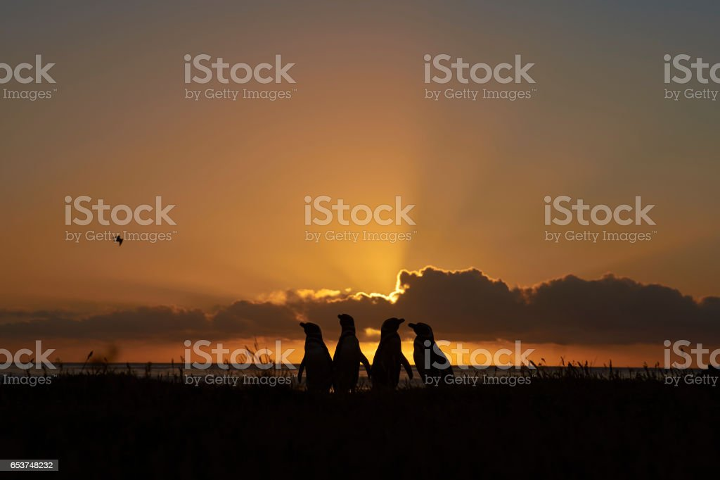 Penguins at dawn on the Falkland Islands stock photo