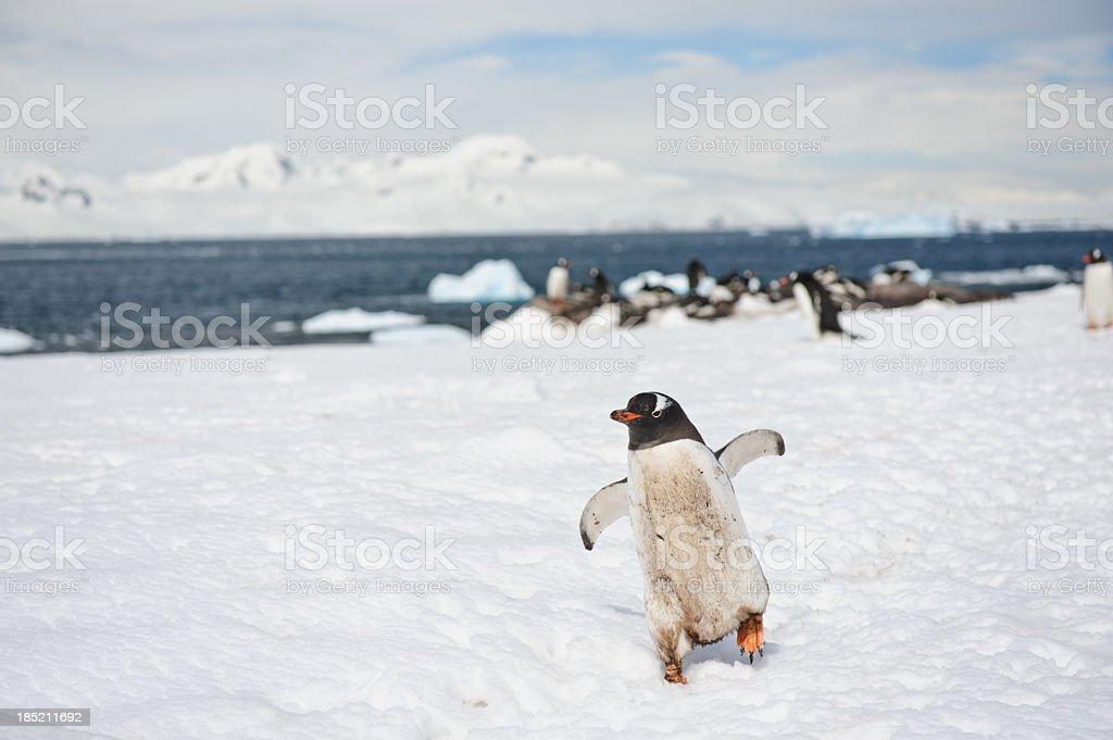 Penguins at Mikklesen Harbour stock photo