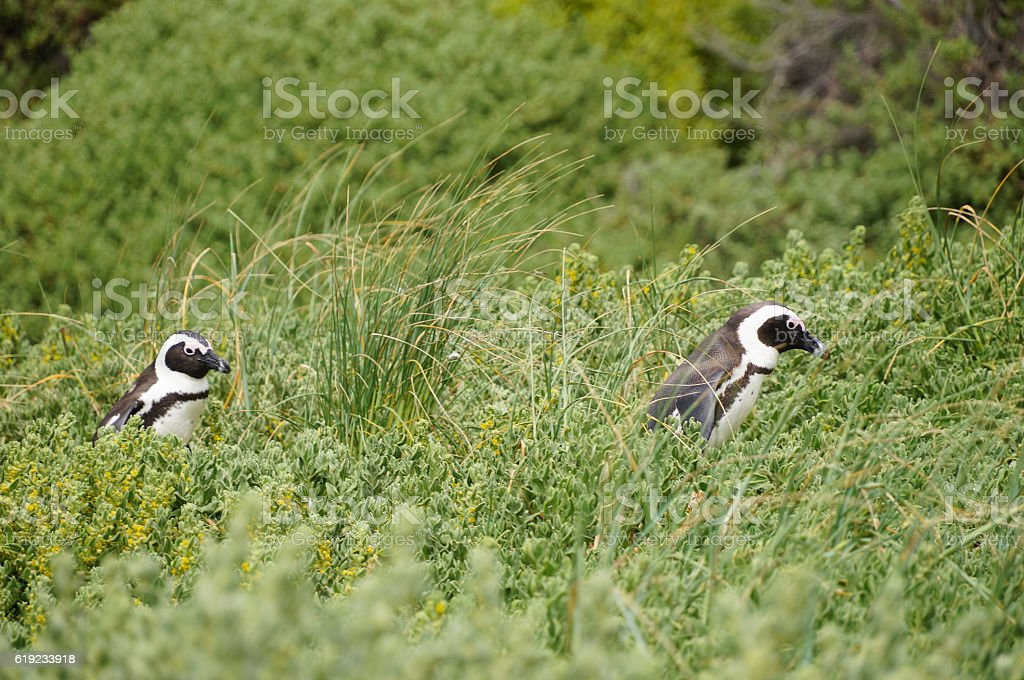 Penguins at Table Moutain National Park,South Africa. stock photo
