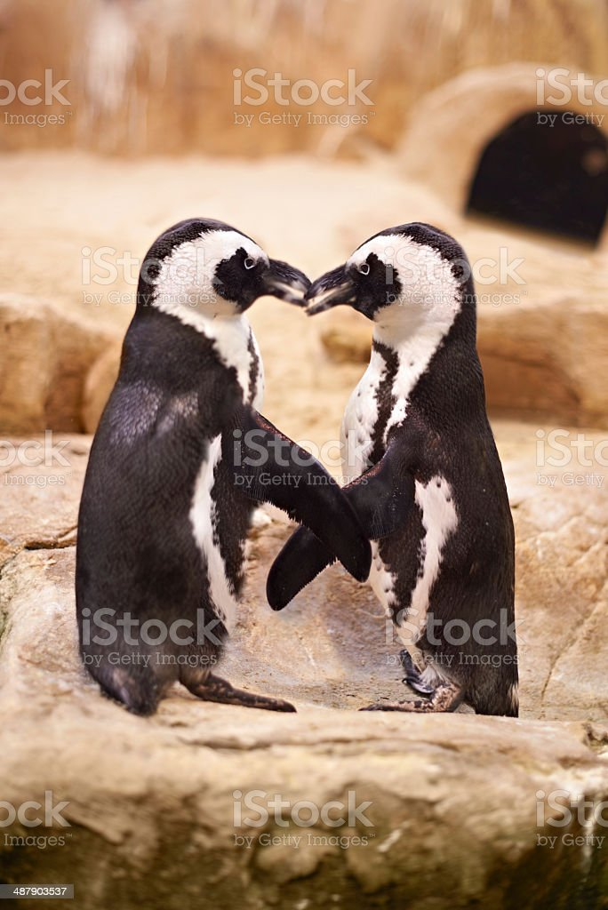 Penguins choose partners for life! stock photo