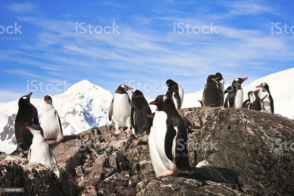 penguins in Antarctica royalty-free stock photo