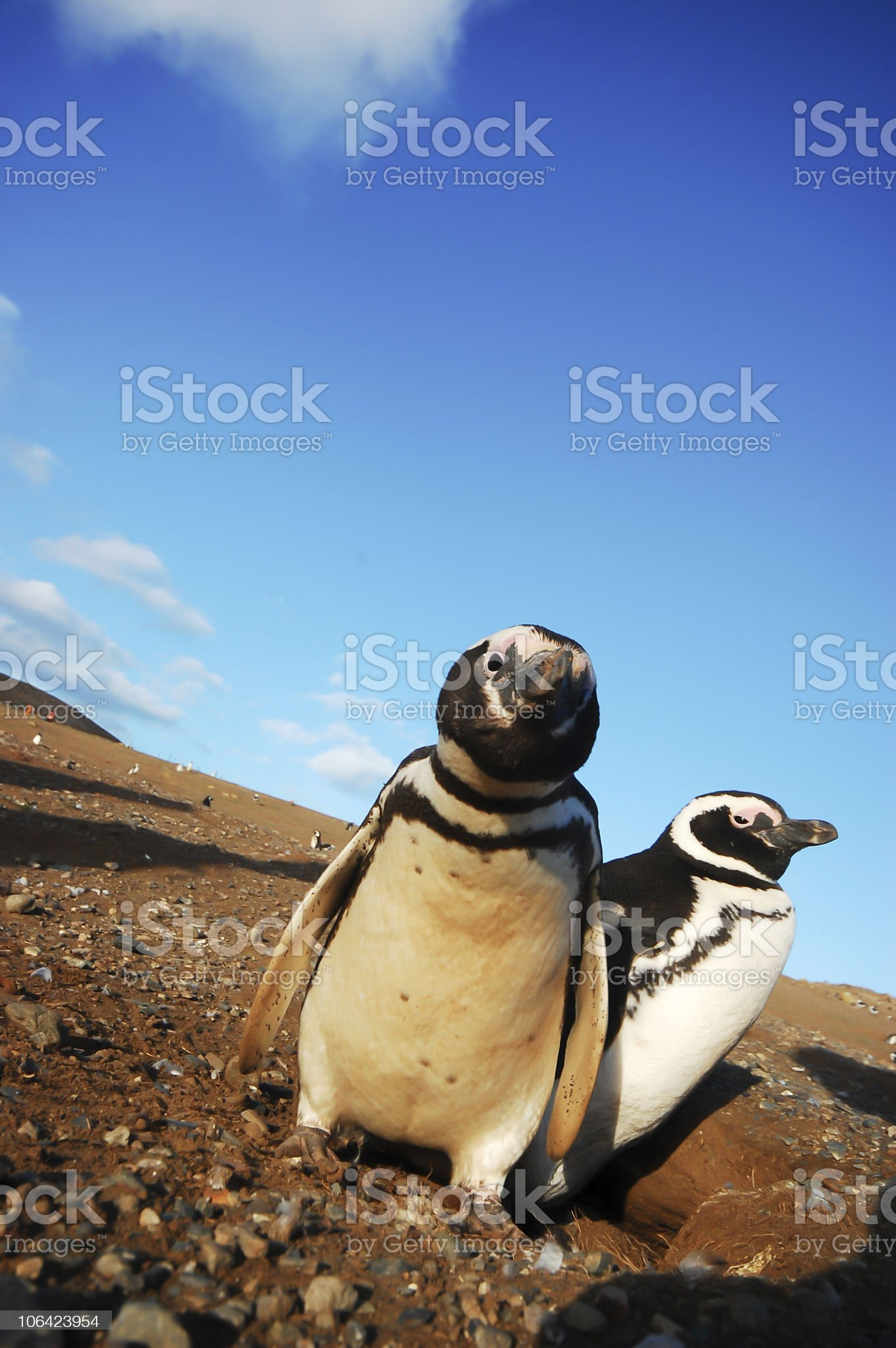 Penguins in Patagonia royalty-free stock photo