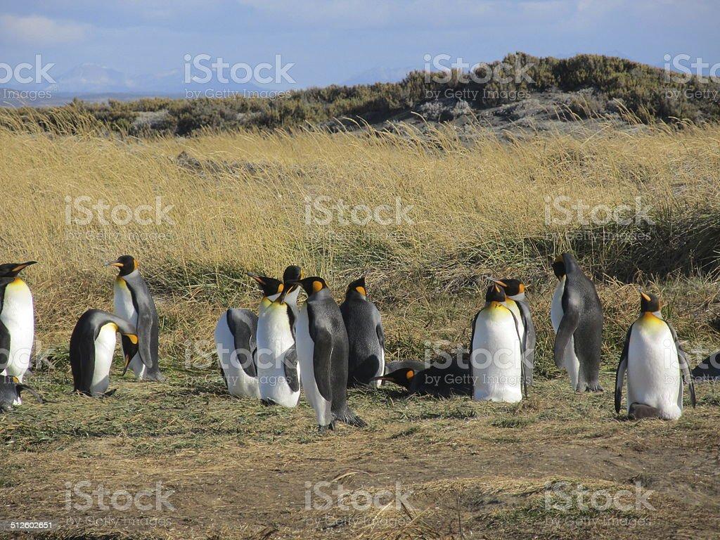 Pinguinos en Tierra del Fuego stock photo