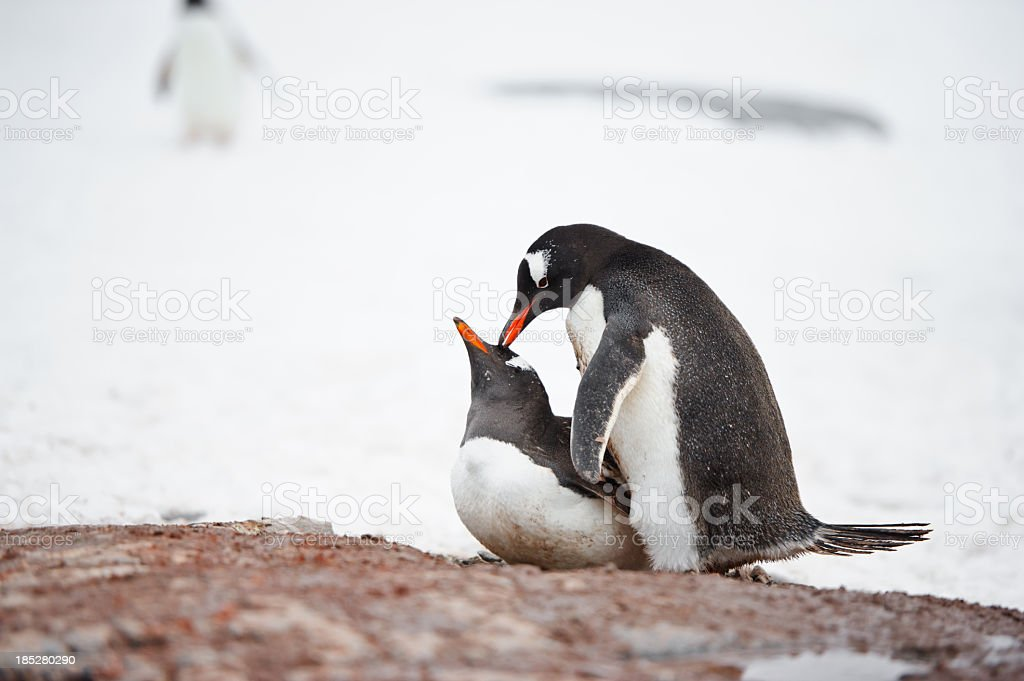 Penguins mating stock photo