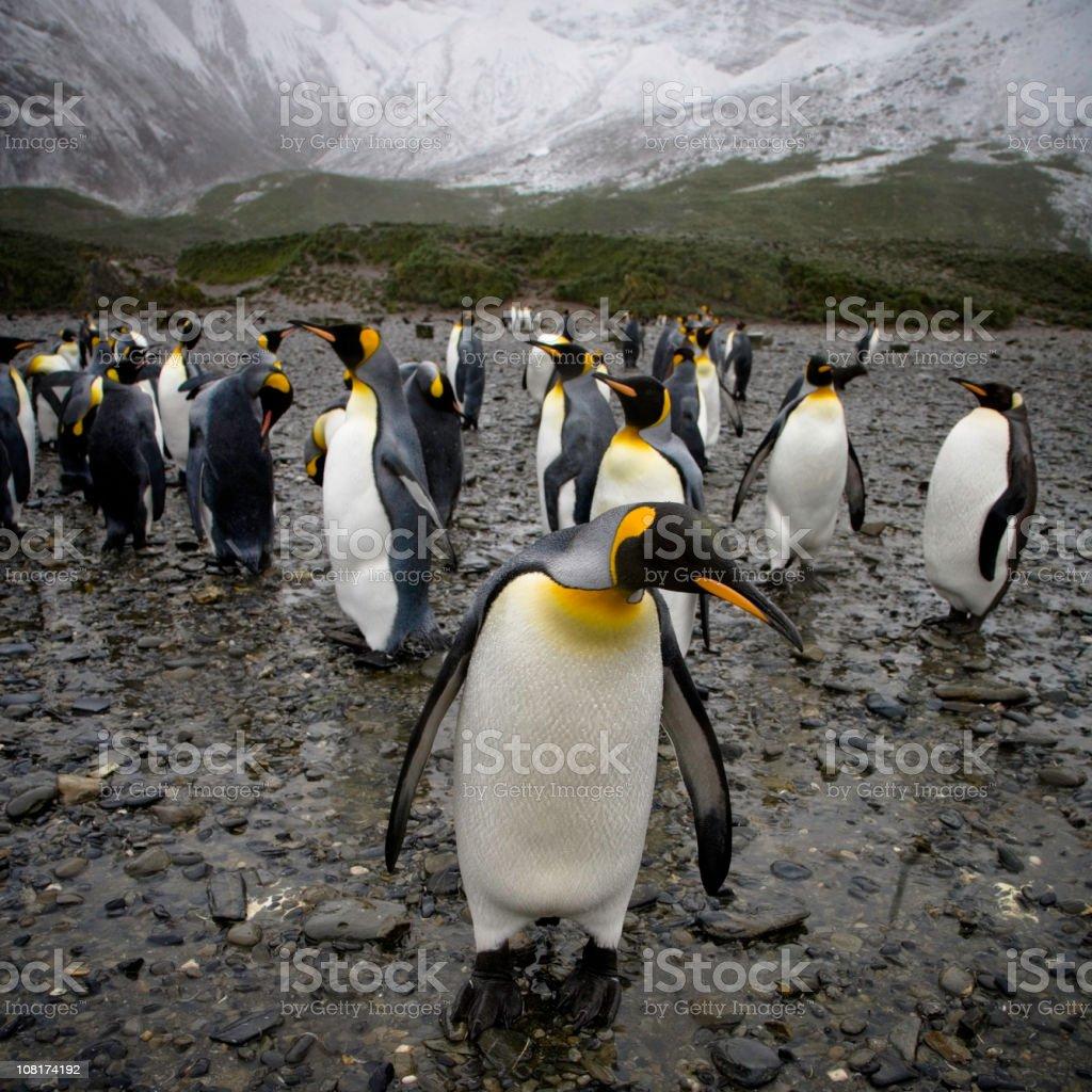 Penguins Near Snowy Mountain in South Georgia stock photo