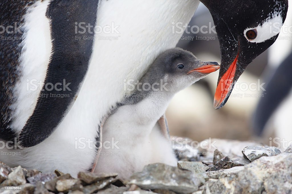 penguins nest stock photo