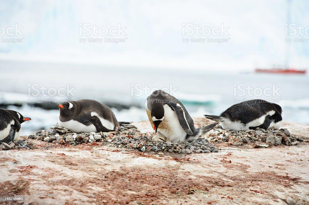 Penguins nesting at Port Lockroy stock photo