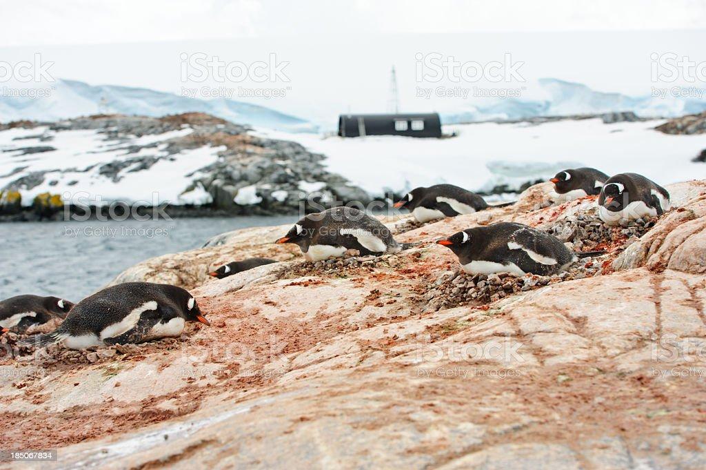 Penguins nesting stock photo
