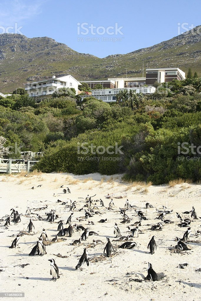 Penguins on Boulder Beach, Cape Town royalty-free stock photo