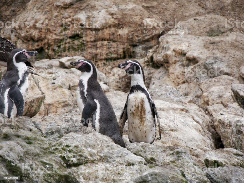 Penguins on Isla Damas, Humboldt Reserve, La Serena, Chile stock photo