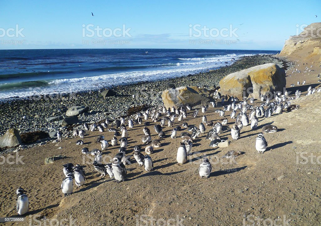 Penguins on Isla Magdalena, Chile stock photo