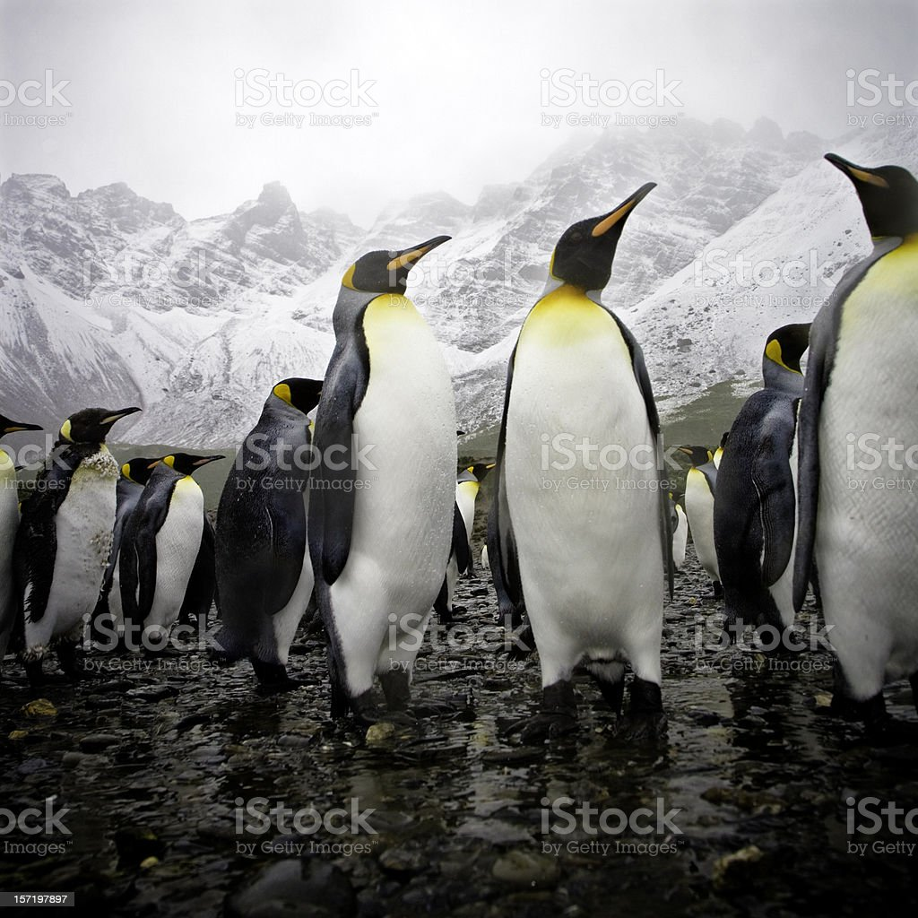 Penguins on Rocky Beach with Snowy Mountains royalty-free stock photo