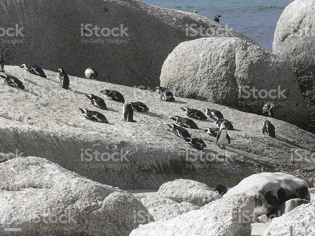 Penguins on the rocks royalty-free stock photo