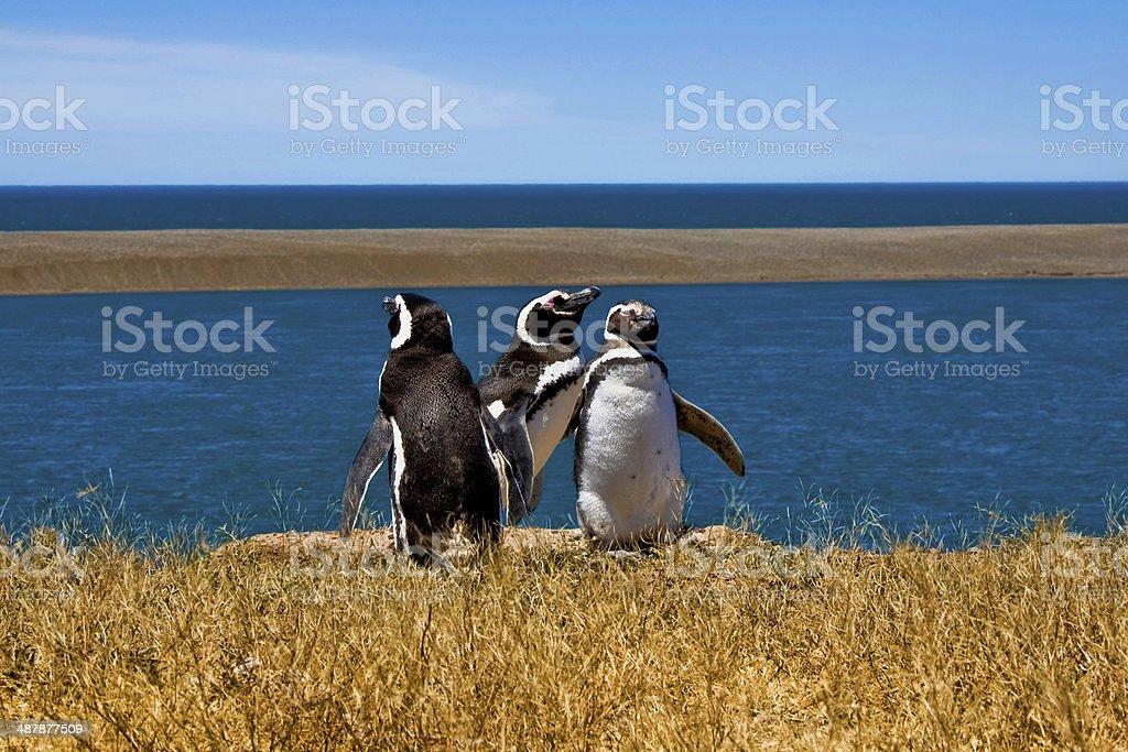 Penguins photo libre de droits