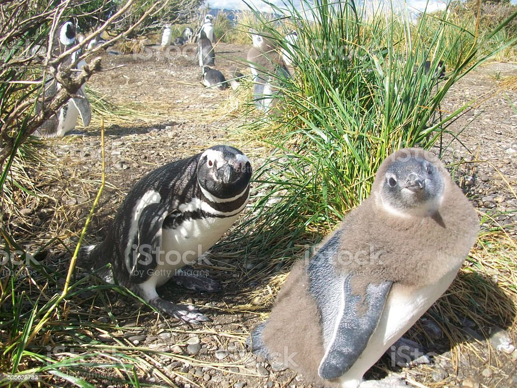 Pingüinos/Pinguins Patagonia foto de stock libre de derechos