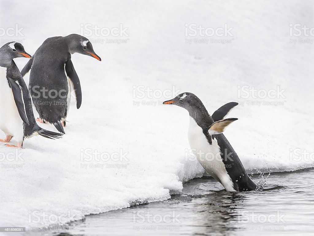 Penguins play on the ice rock royalty-free stock photo
