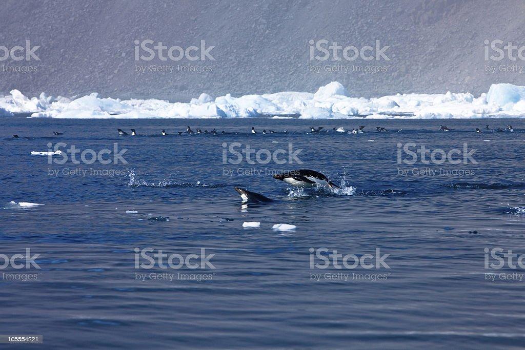 Penguins racing, Paulet Island,  Antarctica stock photo