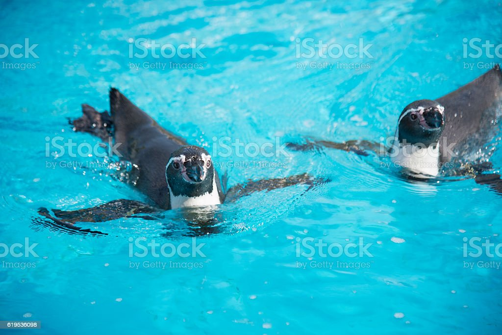 Penguins swimming in the pool stock photo