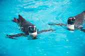 Penguins swimming in the pool