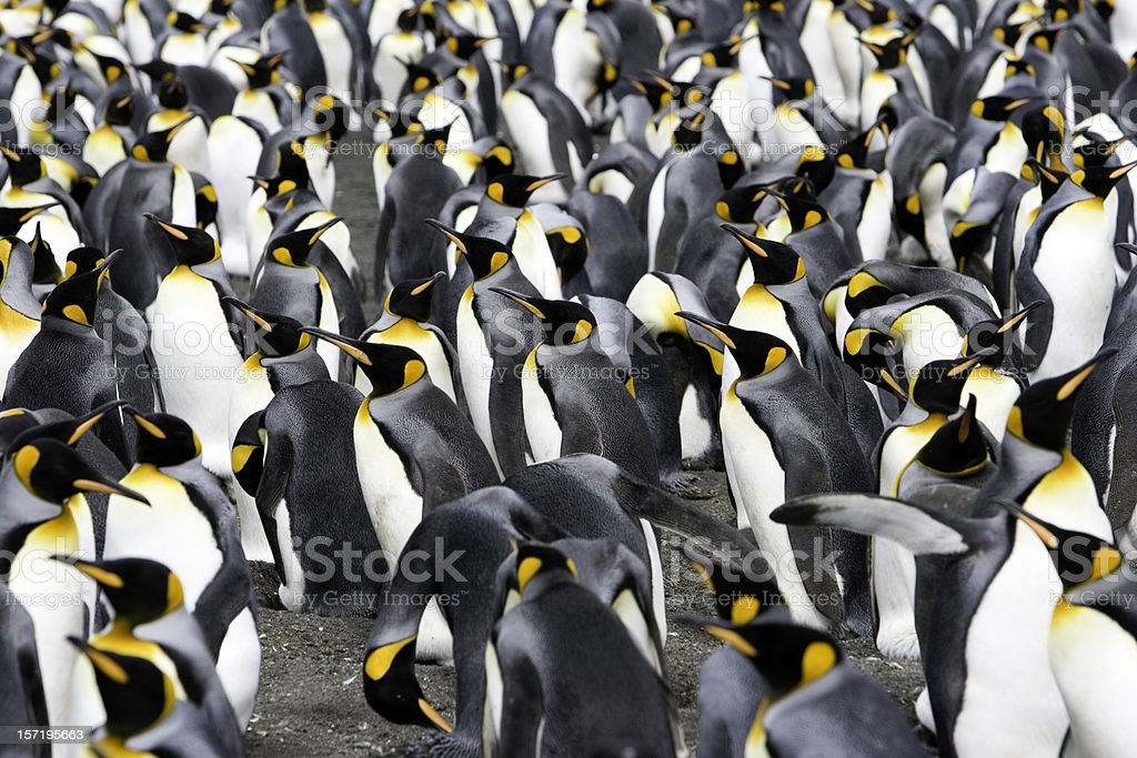penguins to the horizon V royalty-free stock photo