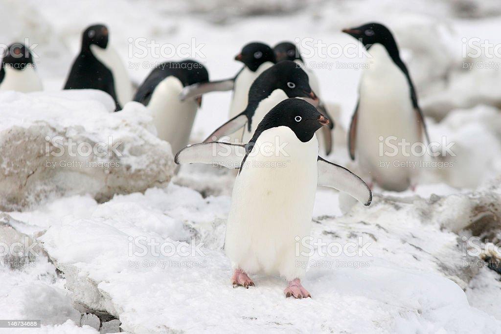Penguins Walking In Line stock photo
