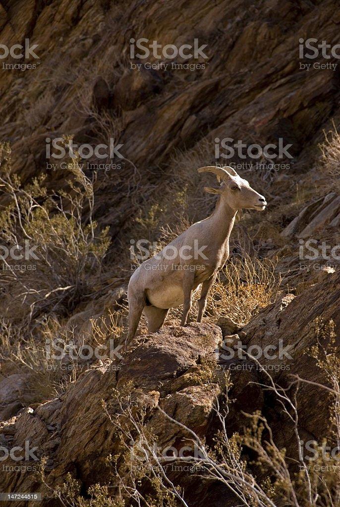 Peninsular Bighorn Sheep overlook stock photo
