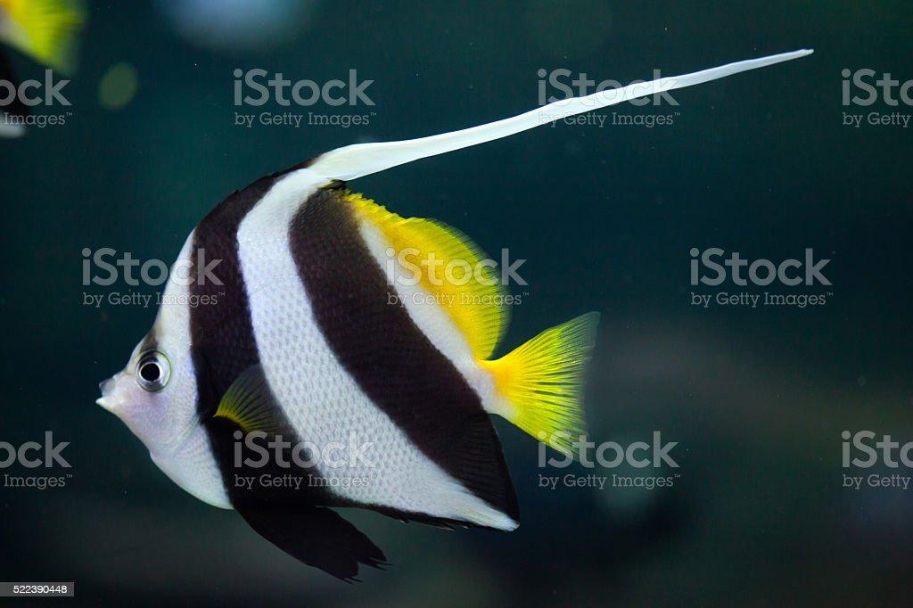 Pennant coralfish (Heniochus acuminatus). stock photo