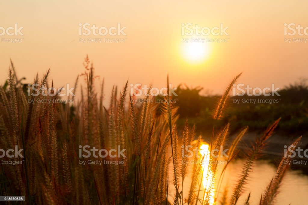 Pennisetum flower in warm sunset stock photo