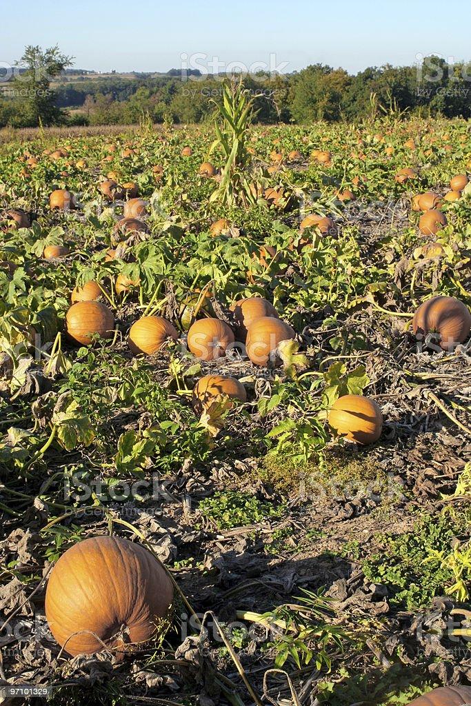 Pennsylvania Pumpkin Patch royalty-free stock photo