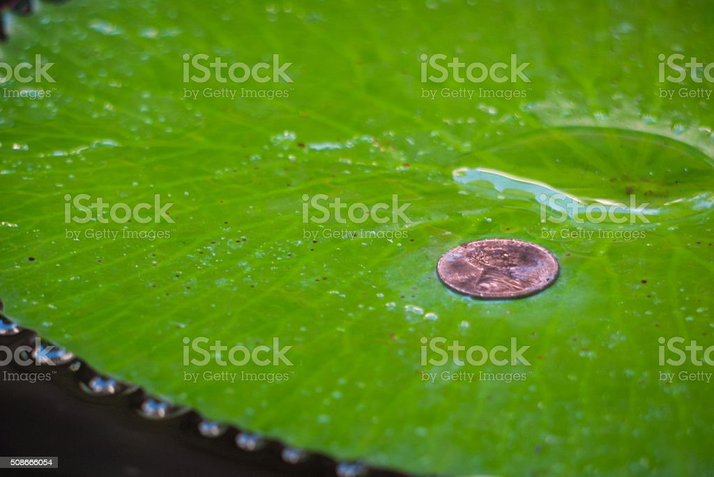 Penny on a floating lily pad stock photo