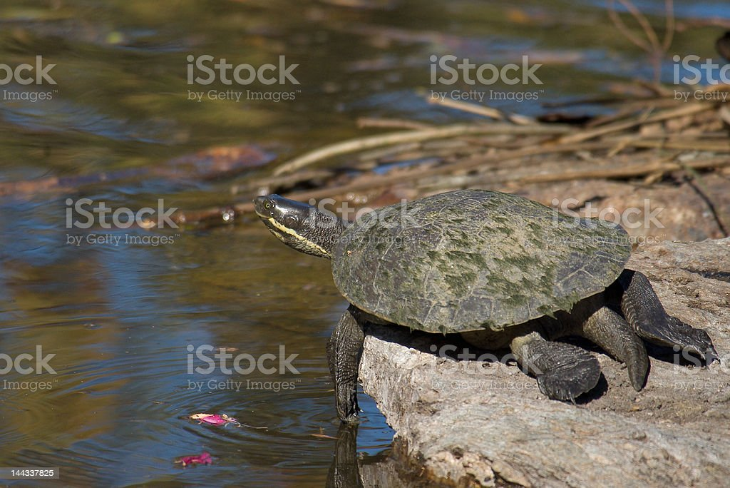 Penny Turtle by the Pond stock photo