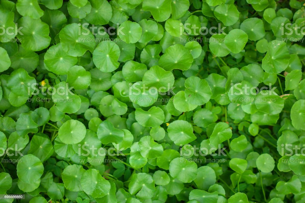 Pennywort Green leaf pattern on the surface stock photo