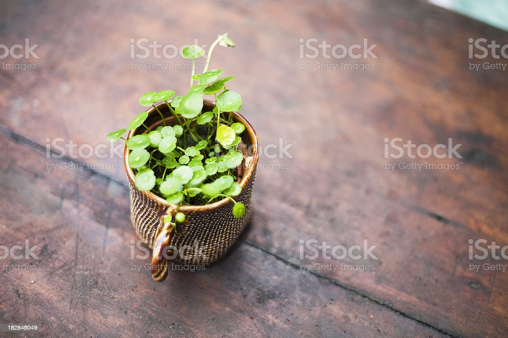 Pennywort Herb stock photo